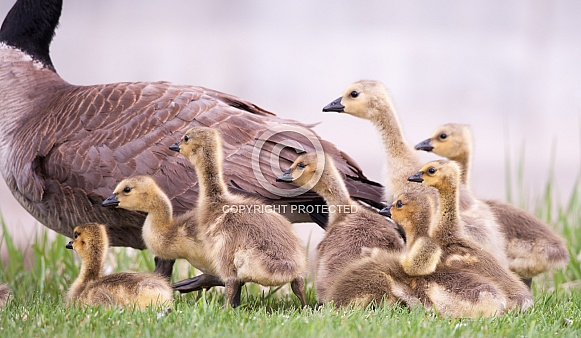 Canada goose with chicks