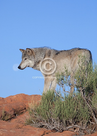 wolf, canis lupis