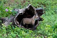 A Red Fox Kit Peeks out of a Burrell