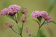 Wild Butterfly Plant