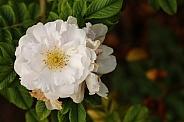 White Flower Carpet Rose