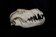 Grey Wolf Skull
