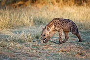 Spotted Hyena Cub (wild)