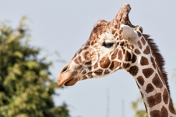 Reticulated Giraffe Side Profile Face Shot