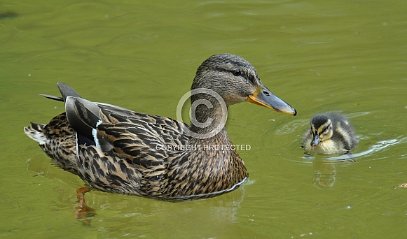 Mallard Duck with Duckling