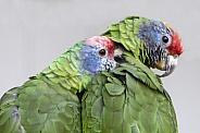 red-tailed amazon (Amazona brasiliensis)
