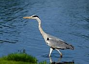A Grey Heron