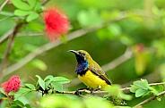 Olive-Back Sunbird