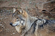 Mexican Grey Wolf (Male)
