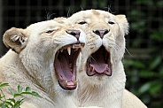 White Lionesses