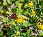 Trimens Brown Butterfly