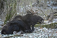 Young Bull Moose in the Snow