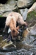Wild Alaskan brown bear cub
