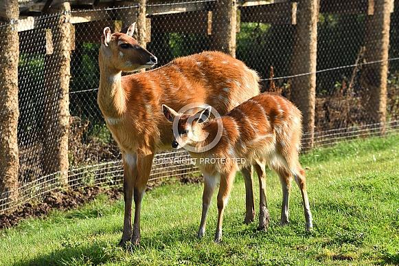 Eastern Bongo Mother and Calf
