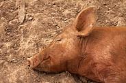 Sleeping Tamworth Pig