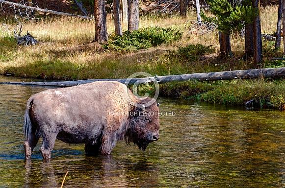 Bison crossing the Nez Perce Creek