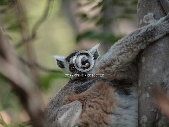Baby Ring-tailed Lemur (Lemur Catta)