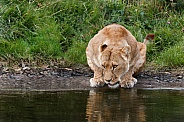 African Lioness drinking