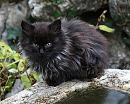 Longhaired Kitten
