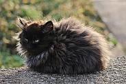 Grumpy Black Fluffy Kitten
