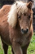 Miniture Shetland Pony close up