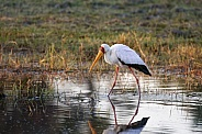 Yellow-billed Stork - Okavango Delta
