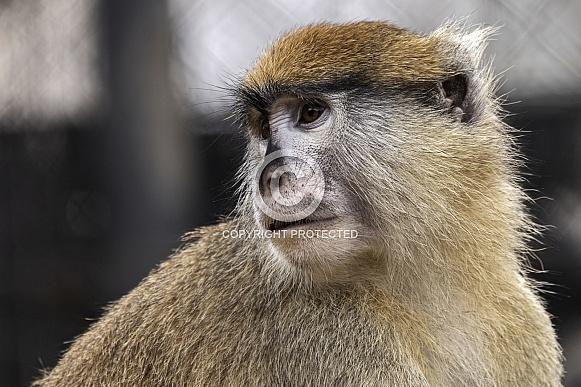 Patas Monkey Close Up
