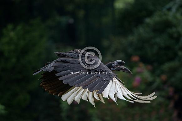 Flying Abyssinian ground hornbill