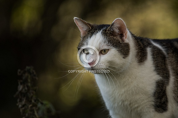 Brown andf White Cat