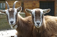 Toggenburg goats
