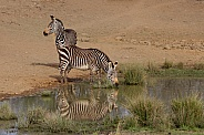 Mountain Zebra Drinking Water