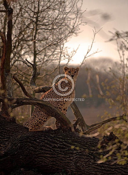 Cheetah in Sunset