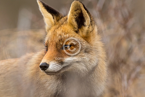 Red fox close-up with soft background