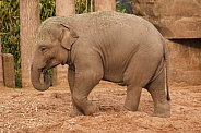 Young Asiatic Elephant Standing