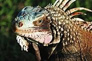 Iguana, close up, St John, VI