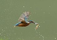 Common Kingfisher Flying with Fish