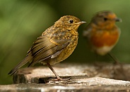 Juvenile European Robin with Parent Supervising