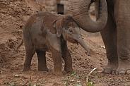 Asian Elephant Calf
