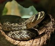 Southern Diamondback Rattlesnake