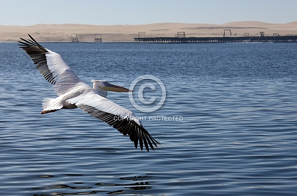 Great White Pelican - Welvis Bay - Namibia