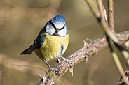 Blue Tit on Tree Branch
