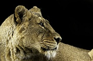 Asiatic Lion, close up
