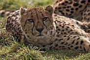 Cheetah Lying Down Looking At Camera