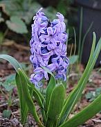 Violet Hyacinth Flower