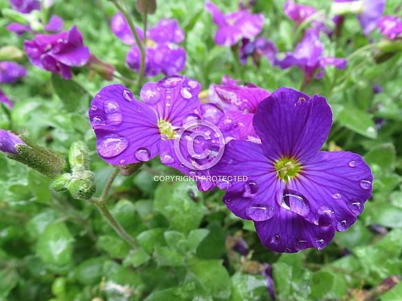 Raindrops on Aubretia