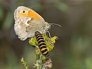 Meadow brown (Maniola jurtina) and caterpillar