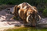 Sumatran Tiger Having A Drink Full Body
