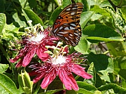 Passion Flowers & Butterfly