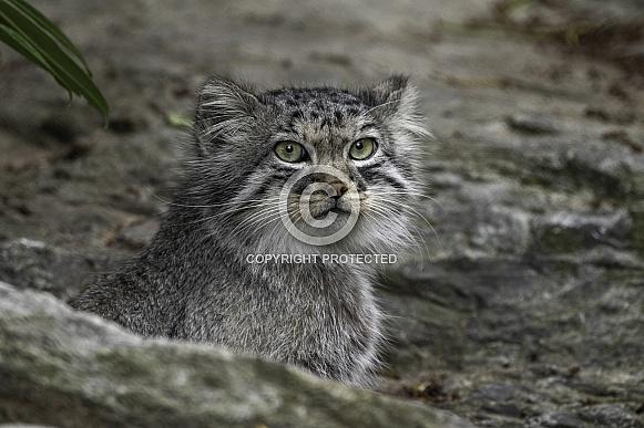 Manul/Pallas Cat In Rocks
