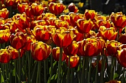 Back lit tulips.